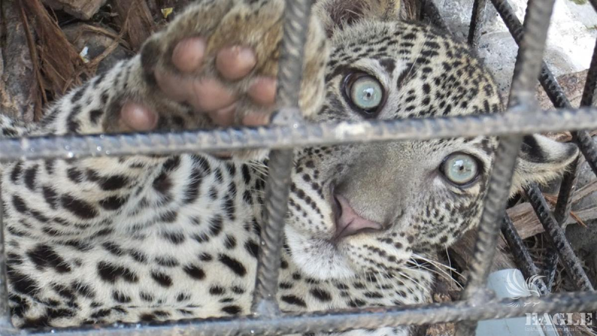 Young leopard rescued from black market