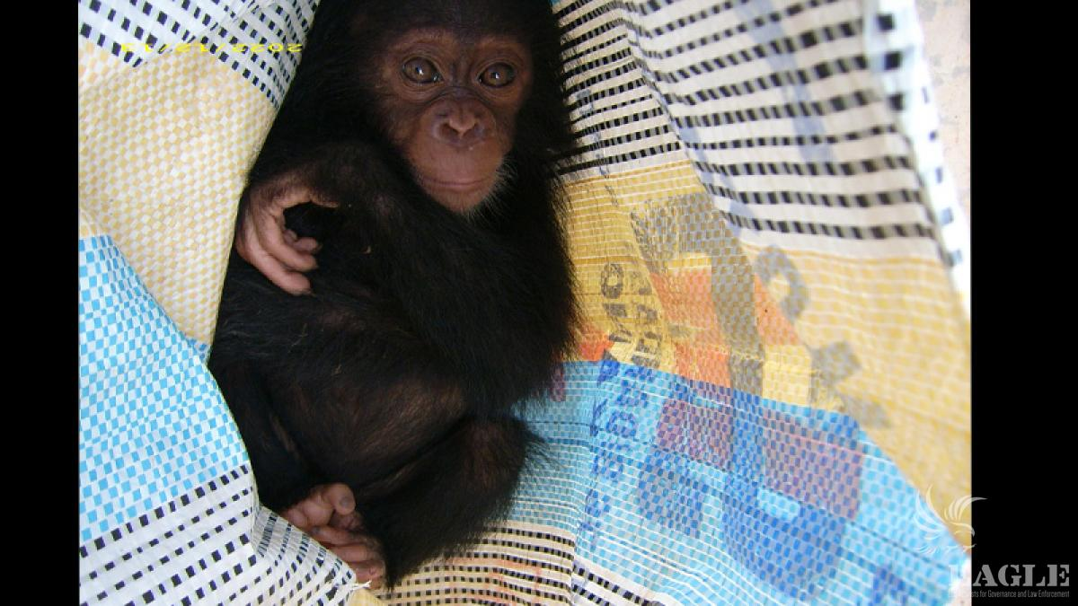 Hidden baby chimp baby rescued