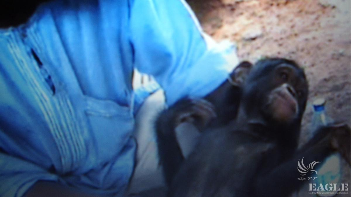 Hidden footage of trafficker before rescue of chimp