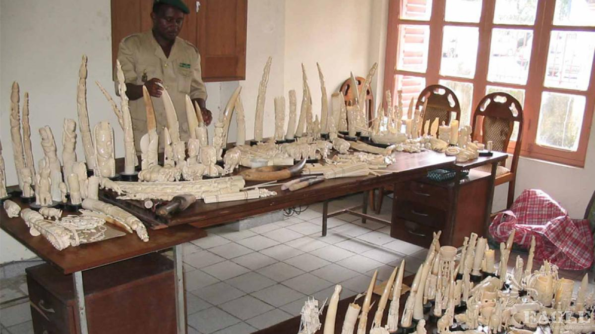 Chinese connection exposed, ivory traffickers arrested