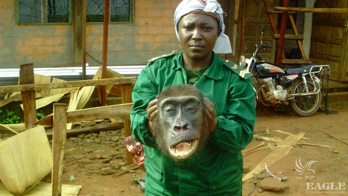 Cracking down on ape trafficking