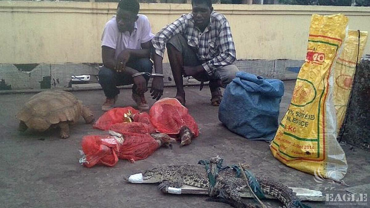 March 7, 2015:  2 traffickers arrested with 6 crocodiles, 1 turtle, 3 vultures and 1 monkey, all fully protected species, animals released to the wild.