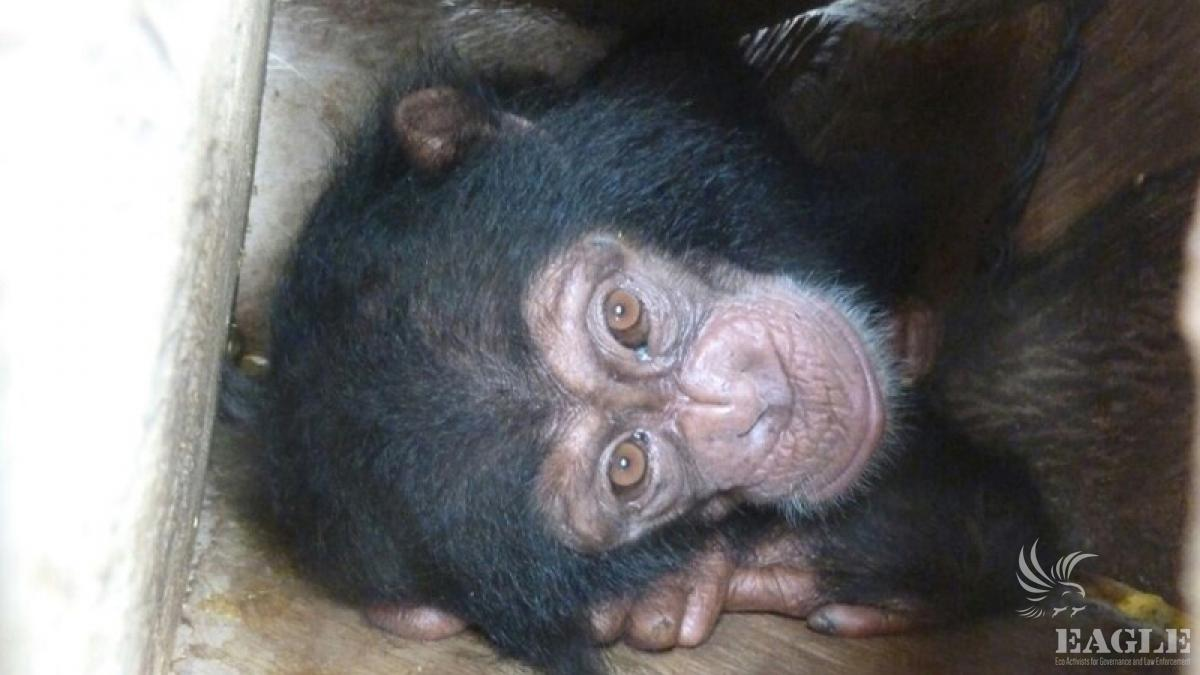 April 17, 2015: operation on chimp trafficking with 2 traffickers arrested. Guinea is one of the most important hub in the world of professional and organized trafficking of apes, hundreds of chimpanzees, gorillas and bonobos have been illegally exported