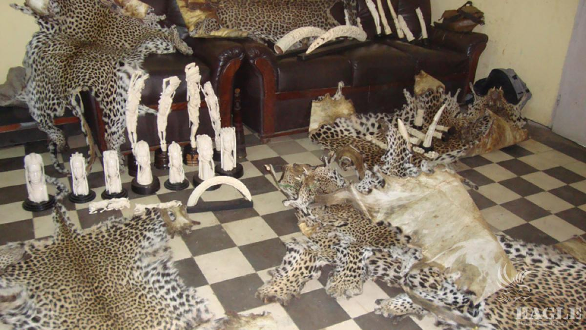 March 28, 2012: 7 traffickers arrested, 10 leopards skins and 100kg of ivory seized