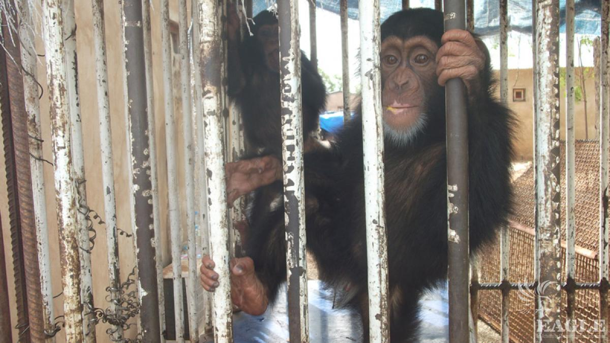 3 chimpanzees rescued from international smuggling while they were in the process of being exported by traffickers in China
