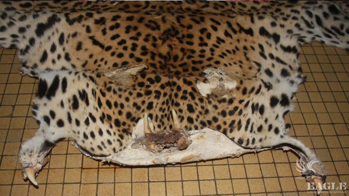 6 leopards skins seized.