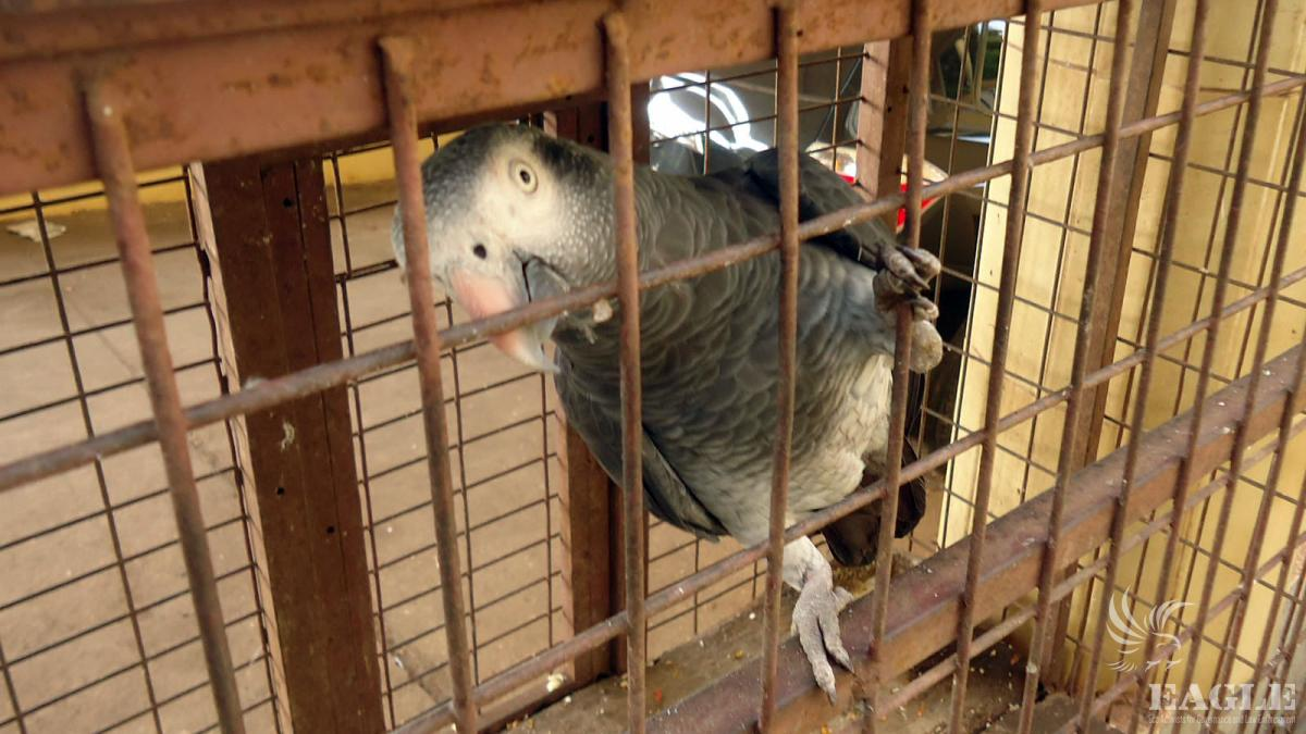 International smuggling of Grey Parrots