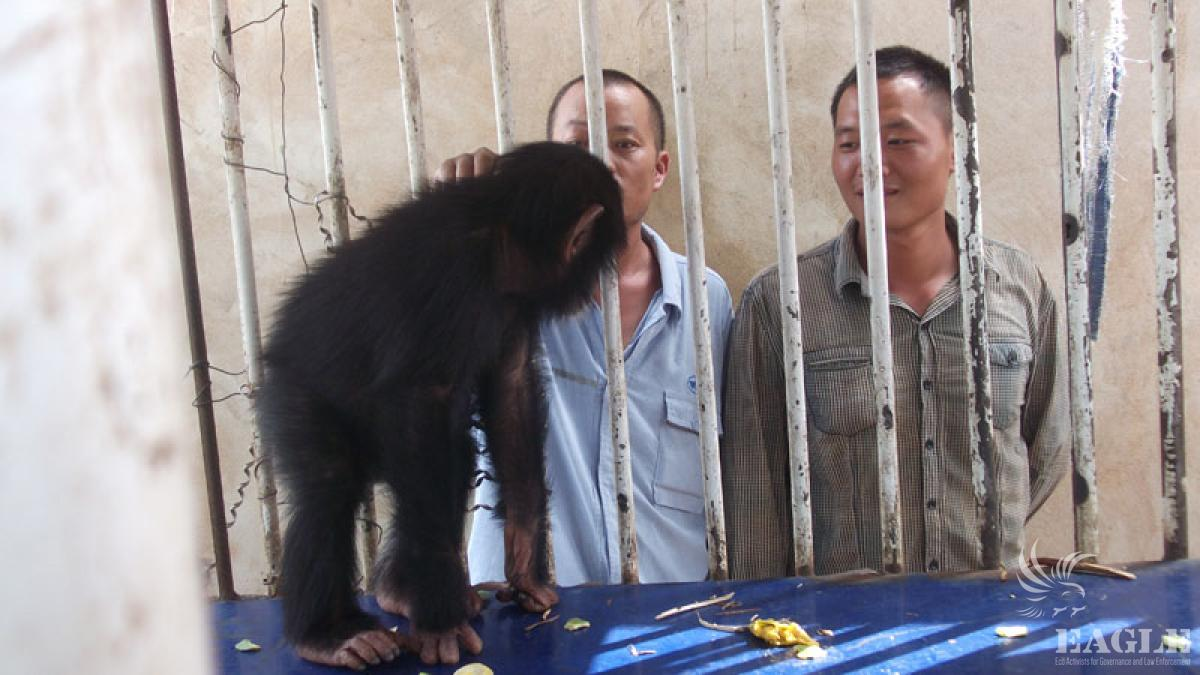 July 2, 2012: 3 Chinese traffickers arrested with 3 chimpanzees