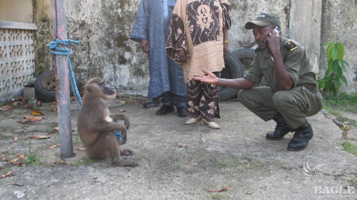 Arrest of primate trafficker