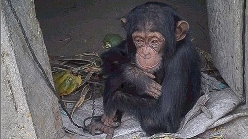 Moment an orphaned baby chimp is rescued after she was found in a tiny wooden box cowering from animal traffickers who had killed her mother