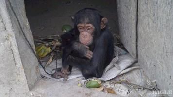 A baby chimp saved in Guinea again
