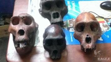 2 traffickers arrested in Yaounde with 4 gorilla skulls