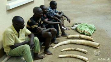 4 traffickers arrested with 5 Ivory tusks