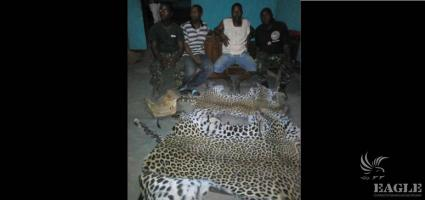 2 traffickers arrested with a lion head skin and two leopard skins