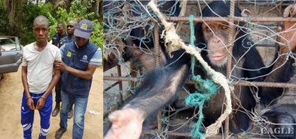 A Colonel and 3 others arrested and 4 chimps rescued
