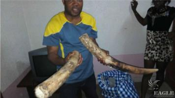 A trafficker arrested with two tusks a leopard skin