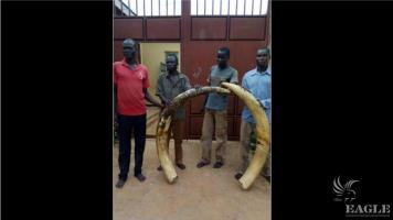 4 traffickers arrested with 70 kg of ivory