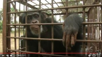 A Colonel and 3 others arrested and 4 chimps rescued - REUTERS reportage