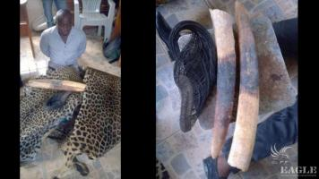 2 traffickers arrested with 2 tusks and 2 leopard skins