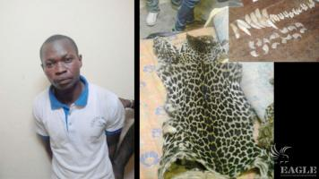 A trafficker arrested with two leopard skins