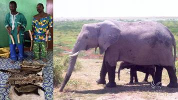 2 traffickers arrested with 4 tusks