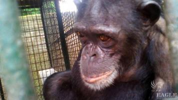2 ape traffickers arrested, 2 adult chimps rescued