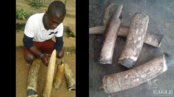 A trafficker arrested with 18kg of Ivory