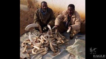 2 traffickers arrested with 127 hippo teeth