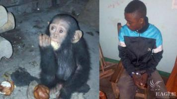 A baby chimp rescued and ape trafficker arrested