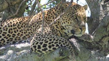2 wildlife traffickers arrested with two leopard skins