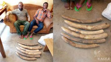 2 traffickers arrested in Kampala with 6 tusks