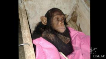 A baby chimp rescued and 4 traffickers arrested