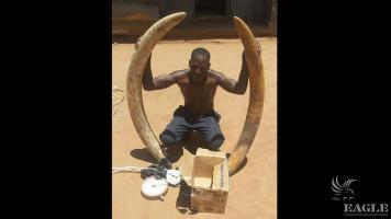A trafficker arrested with two tusks of 42 kg