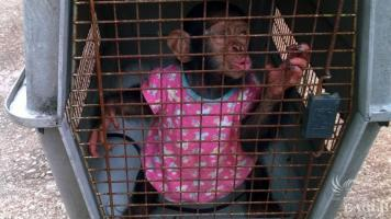 2 traffickers arrested with a baby chimp