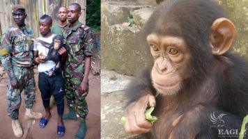 2 international traffickers arrested and a baby chimp rescued