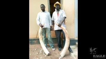 2 traffickers arrested with 2 tusks