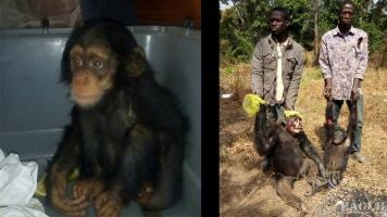 A baby chimp rescued and two traffickers arrested