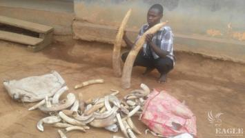 An ivory trafficker arrested with 3 tusks and 124 pieces of hippo ivory