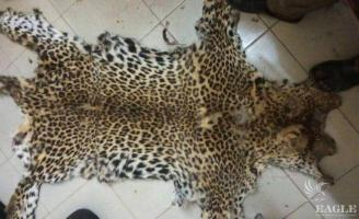 A Guinean trafficker arrested with a leopard skin