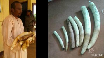 A trafficker arrested with ivory and hippo teeth