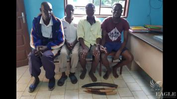 4 ivory traffickers arrested with 4 tusks