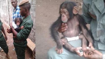 A trafficker arrested and a baby chimp rescued