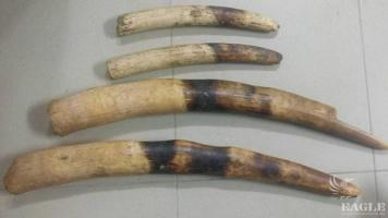 6 traffickers arrested with 4 ivory tusks