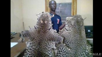 A trafficker from Burkina Faso arrested with two leopard skins