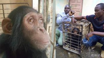 2 ape traffickers arrested and a chimp rescued