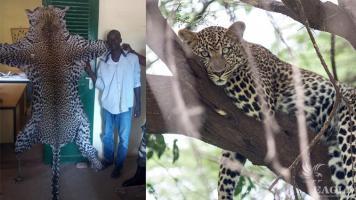 A trafficker arrested with a leopard skin