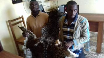 2 traffickers arrested with 2 leopard skins and a leopard skull