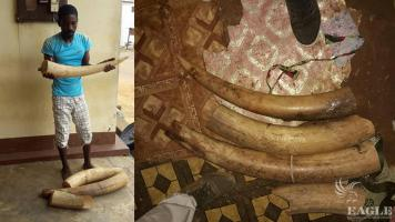An ivory trafficker arrested with 2 tusks
