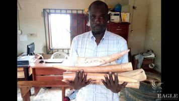 A Senegalese ivory trafficker arrested with 6 tusks