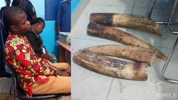 2 traffickers arrested with 2 large tusks